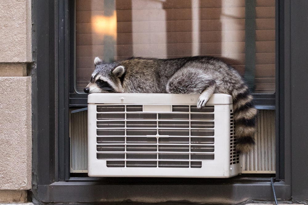 raccoon sleeping on air conditioner outside