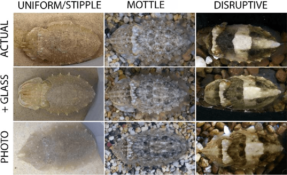 nine different images of cuttlefish showing uniform/stipple, mottle, and disruptive camouflage