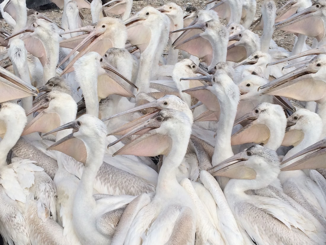 dozens of pelicans filling the frame of the photo