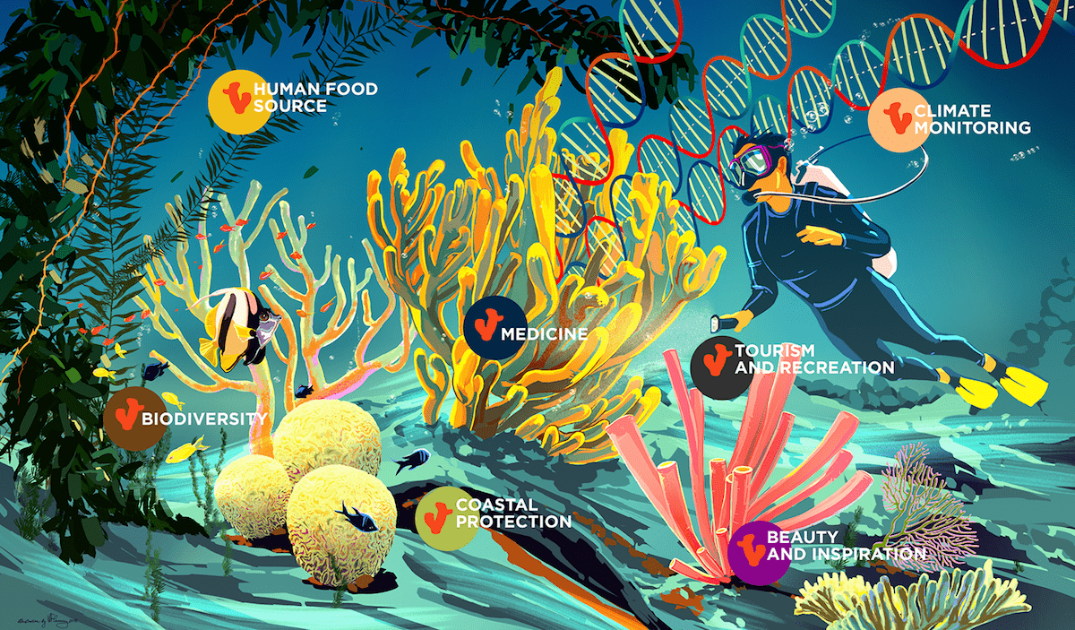 illustration of underwater scene with diver and various types of coral, with text that says 'human food source, biodiversity, coastal protection, medicine, tourism and recreation, beauty and inspiration, climate monitoring' with strands of dna flowing out of one tree of coral