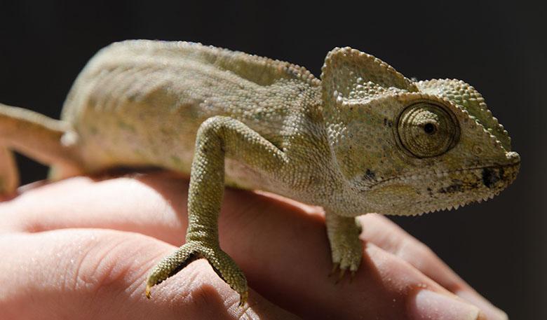 Chameleon walking across a human hand