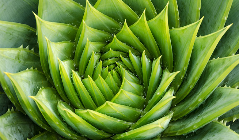 Bird's eye view of a green spiral aloe plant