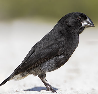 a medium ground finch, a black bird on perched on the ground