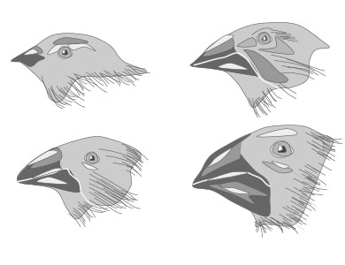 four black and white illustrations of the beaks of different species of galapagos finches