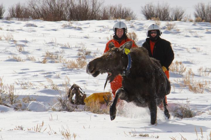 two researchers standing next to a struggling moose in the snow
