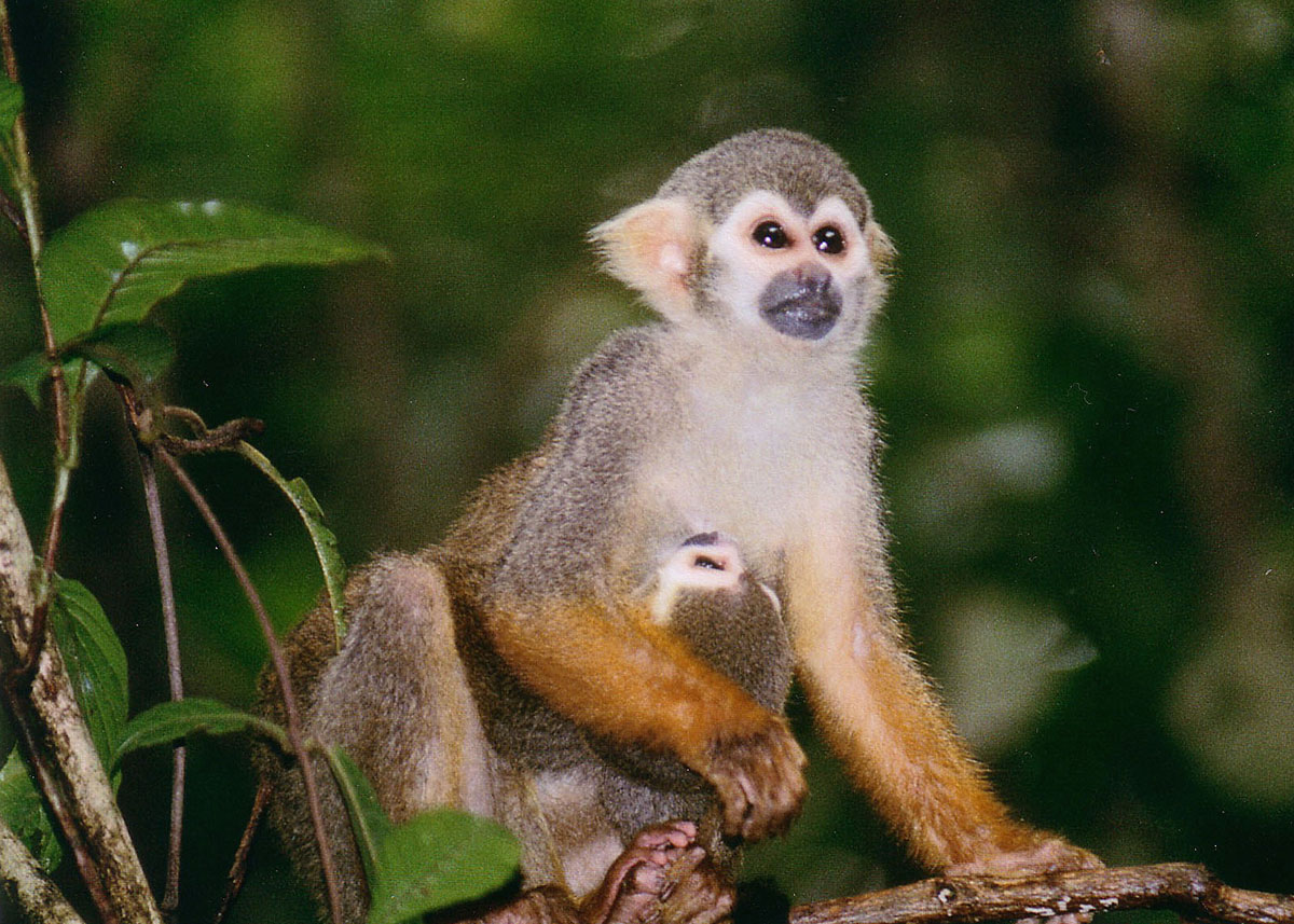 very cute squirrel monkey holding baby at her waist while sitting in tree