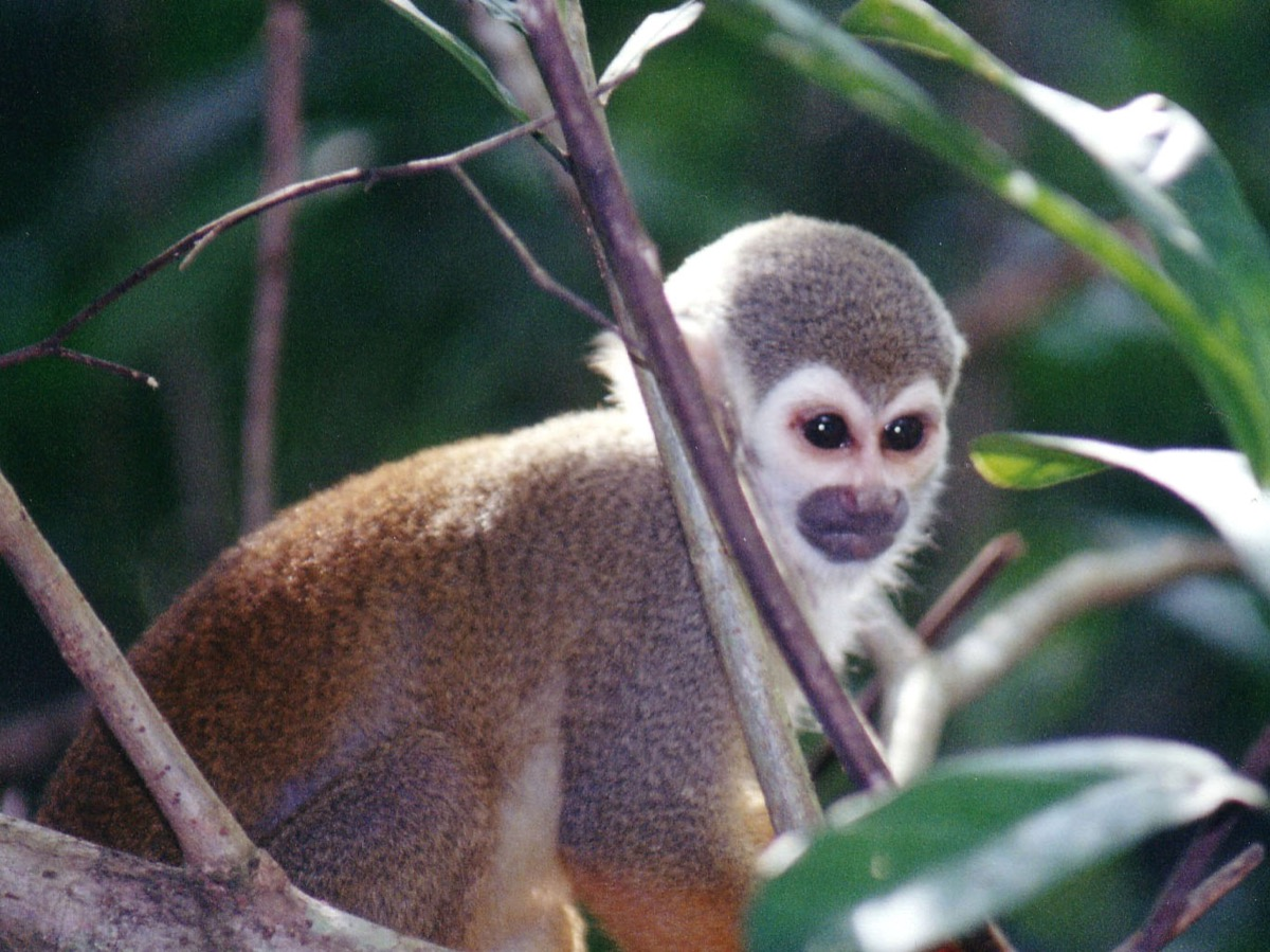 squirrel monkey sitting alne surrounded by leaves