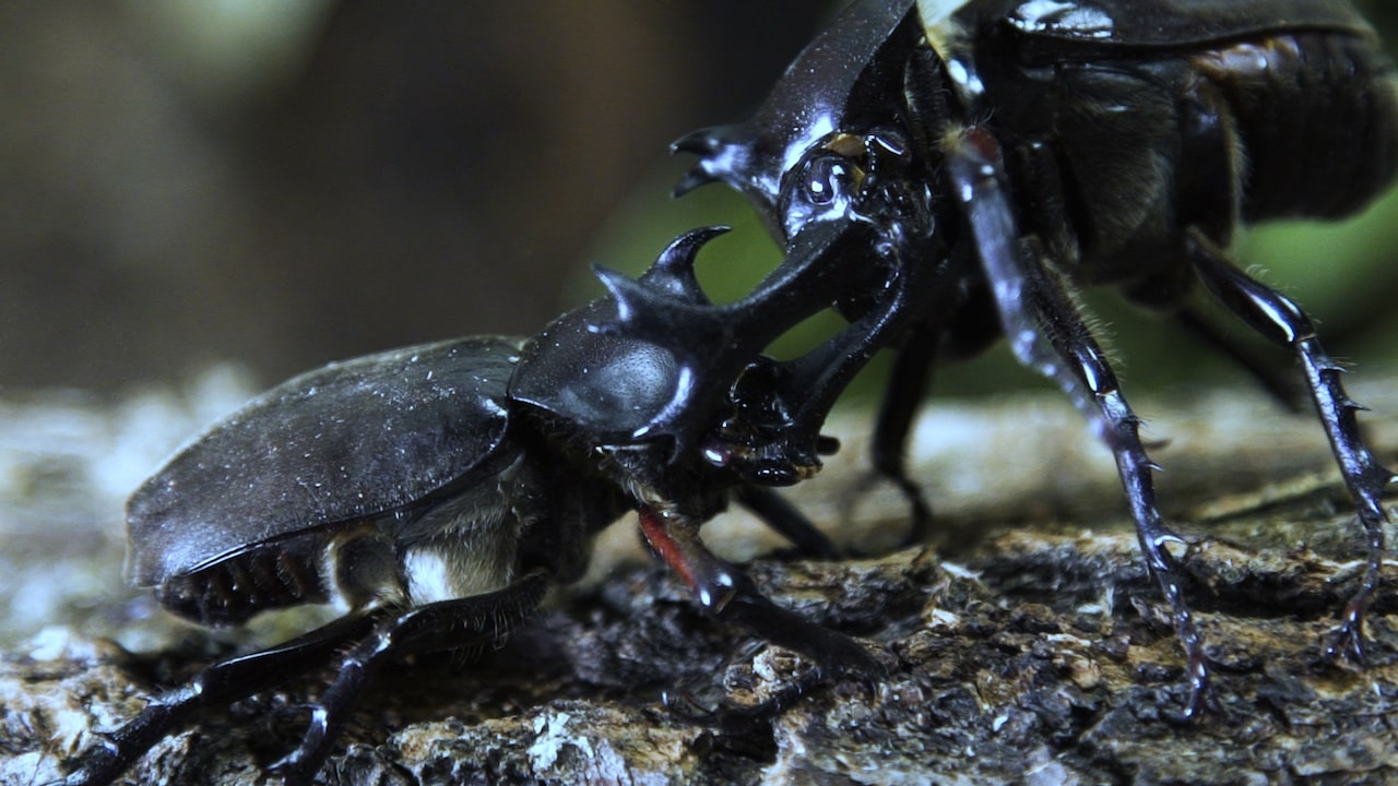 two large black beetles fight with their long horns on their heads. they are on top of a branch
