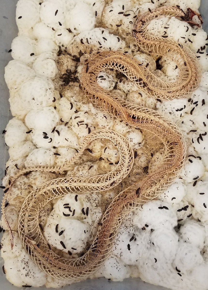 the carcass of a snake is in a box with a bunch of cotton and tiny black dermestid beetles. parts of the flesh can still be seen near the head and along the body