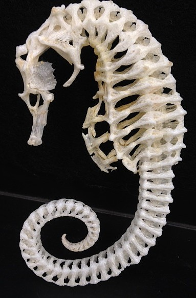 the skeleton of a seahorse pictured on the side