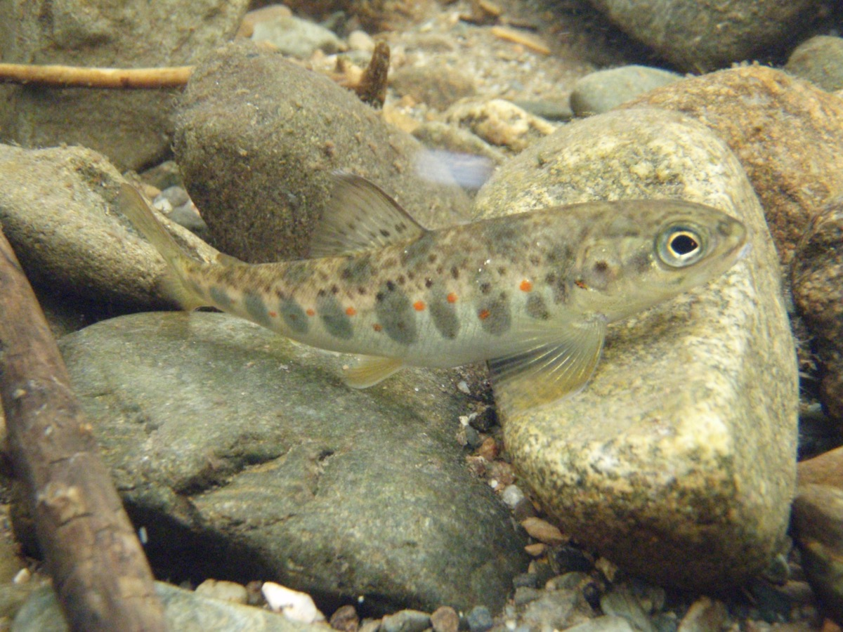 a brown speckled fish swimming by a rocky stream bed
