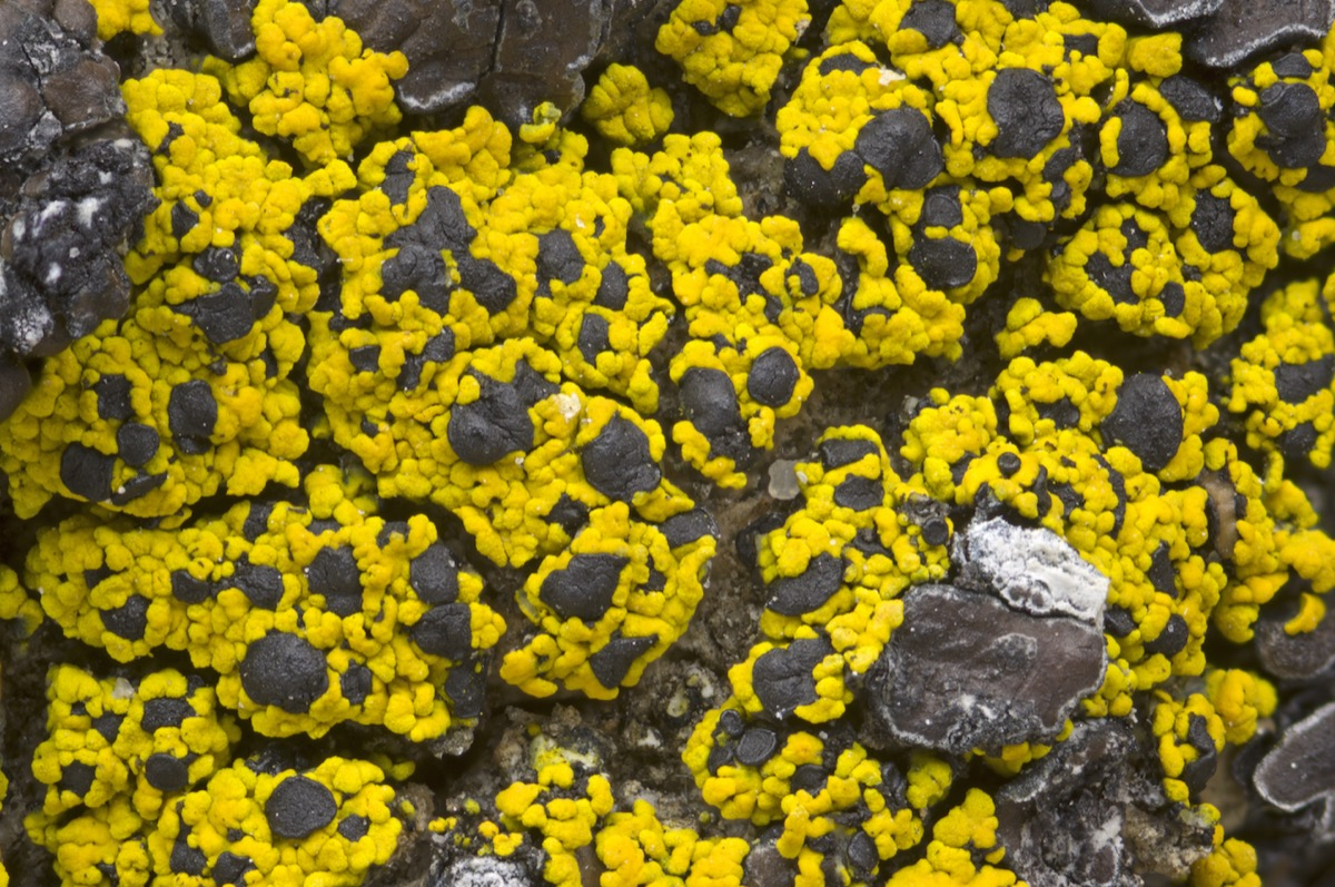 a field of yellow speckled lichen on a rock