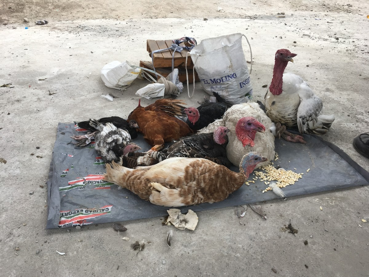 a group of turkeys perch on a gray blanket outside on the ground. there are buckets of feed next to them