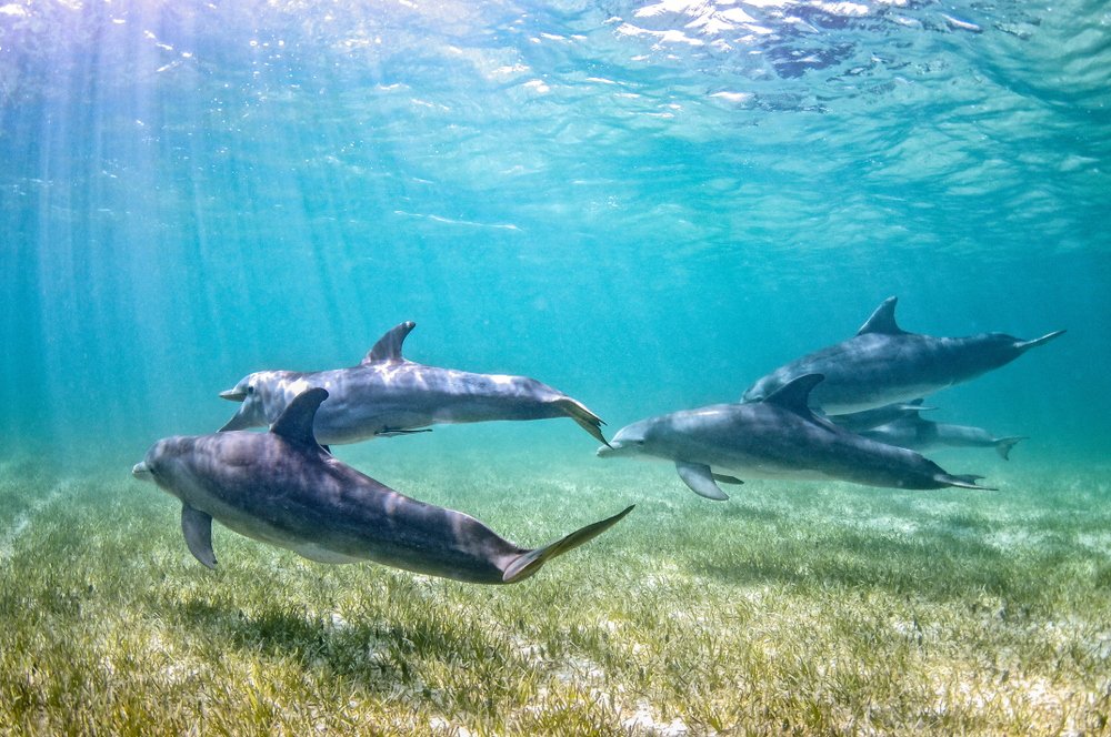 A pod of bottlenose dolphins is swimming over sea grass in shallow clear water on a sunny day.