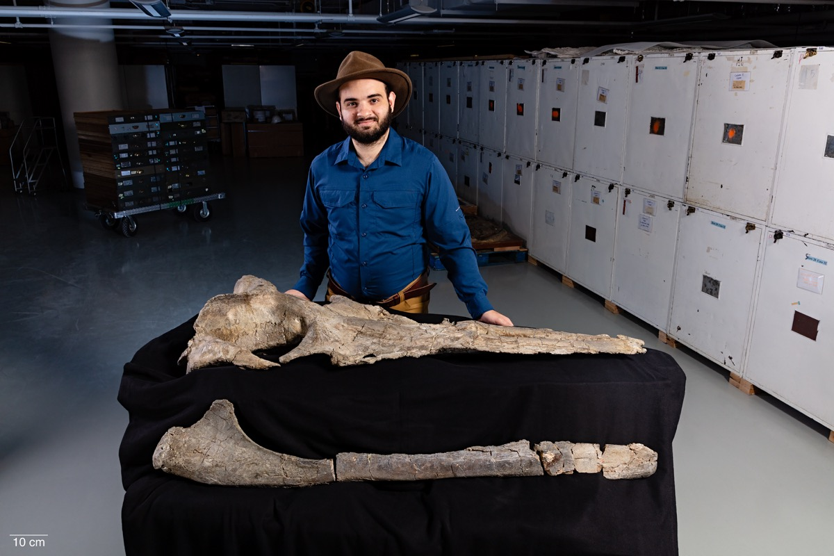 man with hat stands behind two four foot long bones in a museum storage room