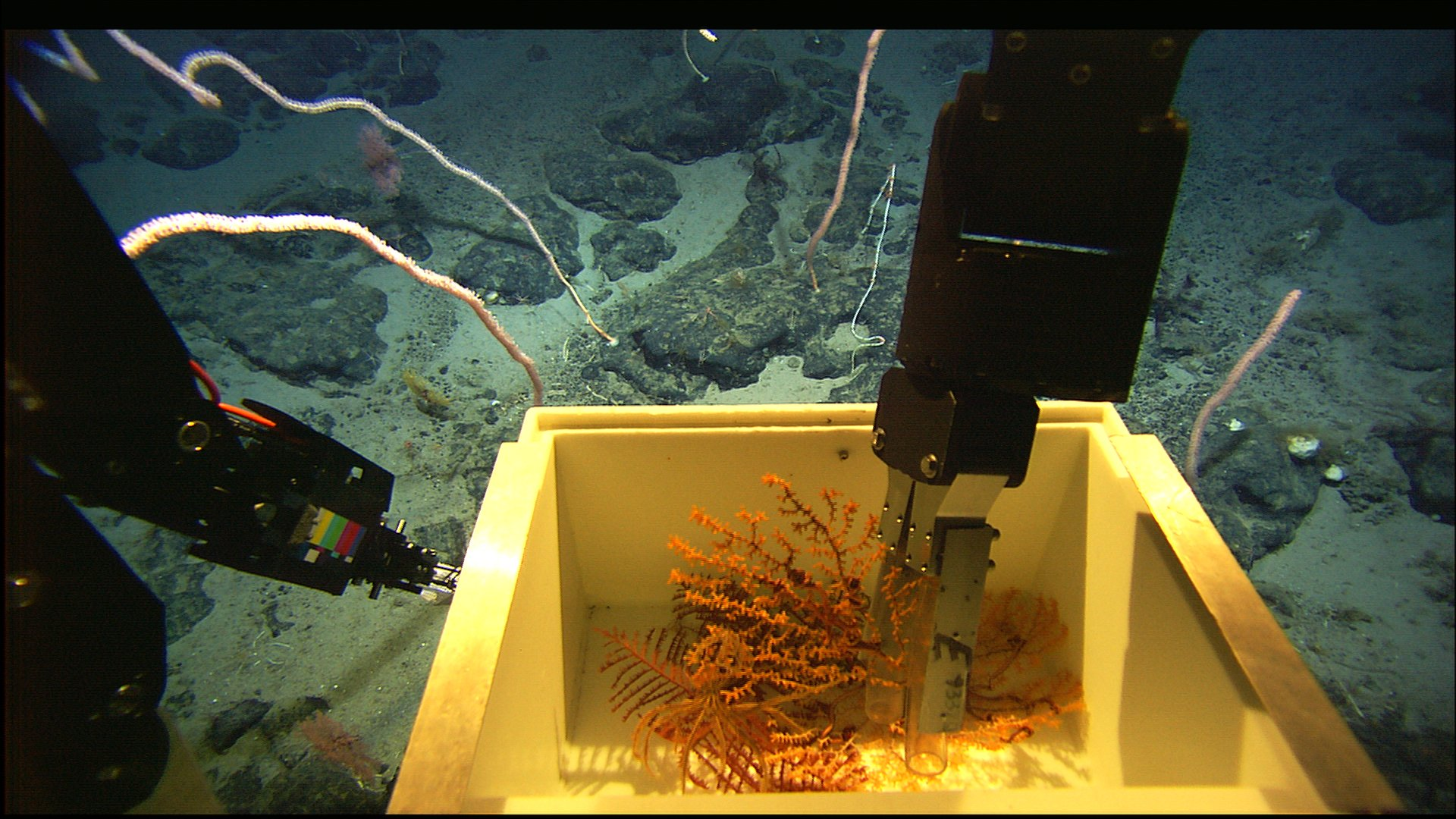 An ROV arm collecting a sample of coral and placing it in a box.