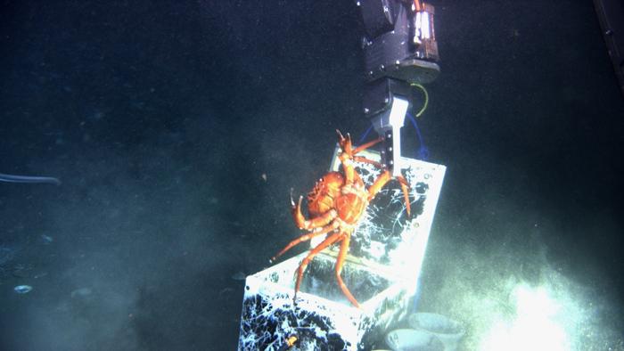 Retrieving a crab with an ROV arm