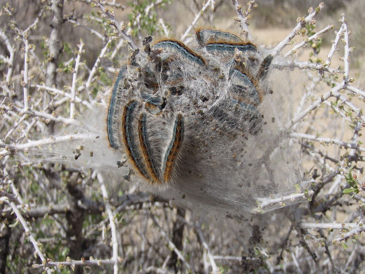 a bunch of fuzzy caterpillars with teal blue and orange vertical stripes along their bodies huddle together in a silk nest in branches