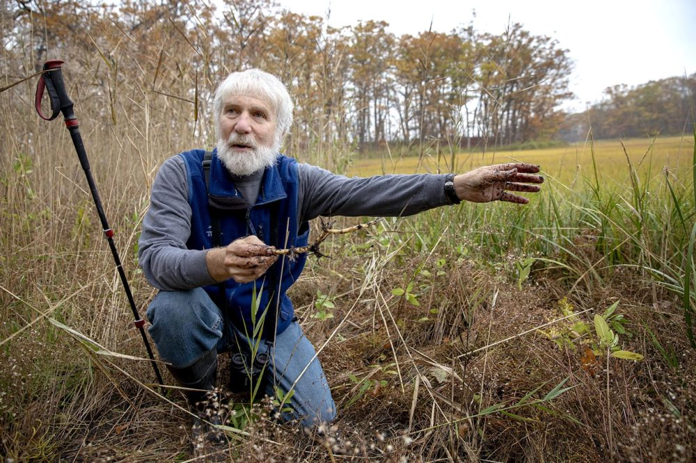 a older, bearded man kneeling in a marsh, holding a root, surrounded by reeds