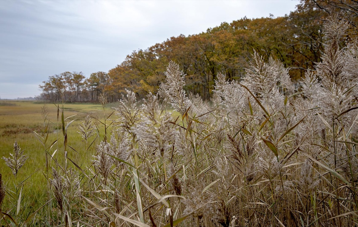 Common reeds stand out among marshlands, near the edge of a forest