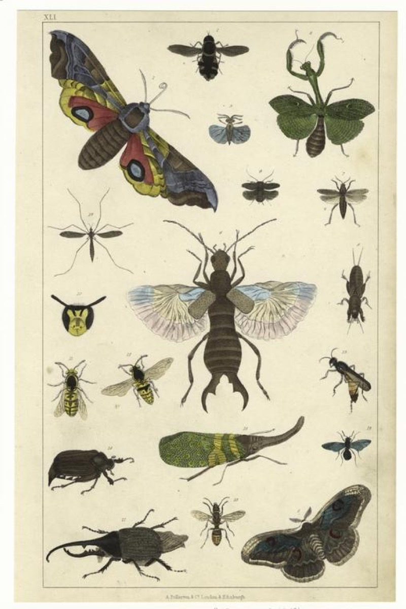colored drawings of various insects on yellowed paper