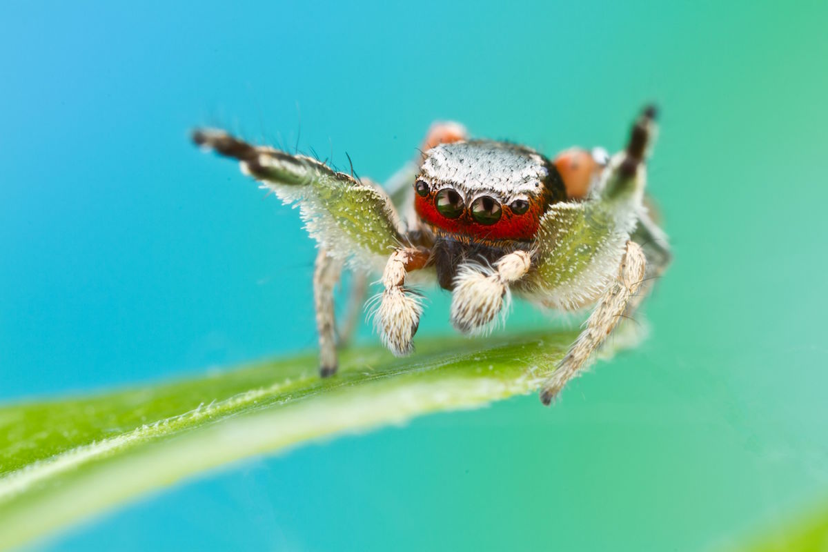 a brightly colored jumping spider with a red furry face and white body perches on a leaf with its front legs up in the air