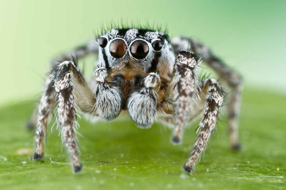 a white and black striped jumping spider on a leaf