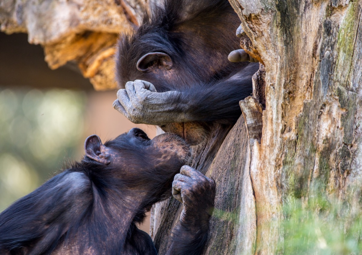 two chimpanzees kiss in a tree