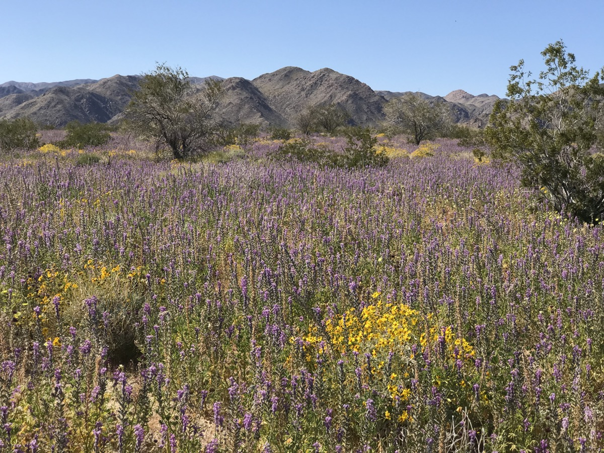 vast expanse of dry land covered in thin purple flowers with rolling mountains and blue skies in the background