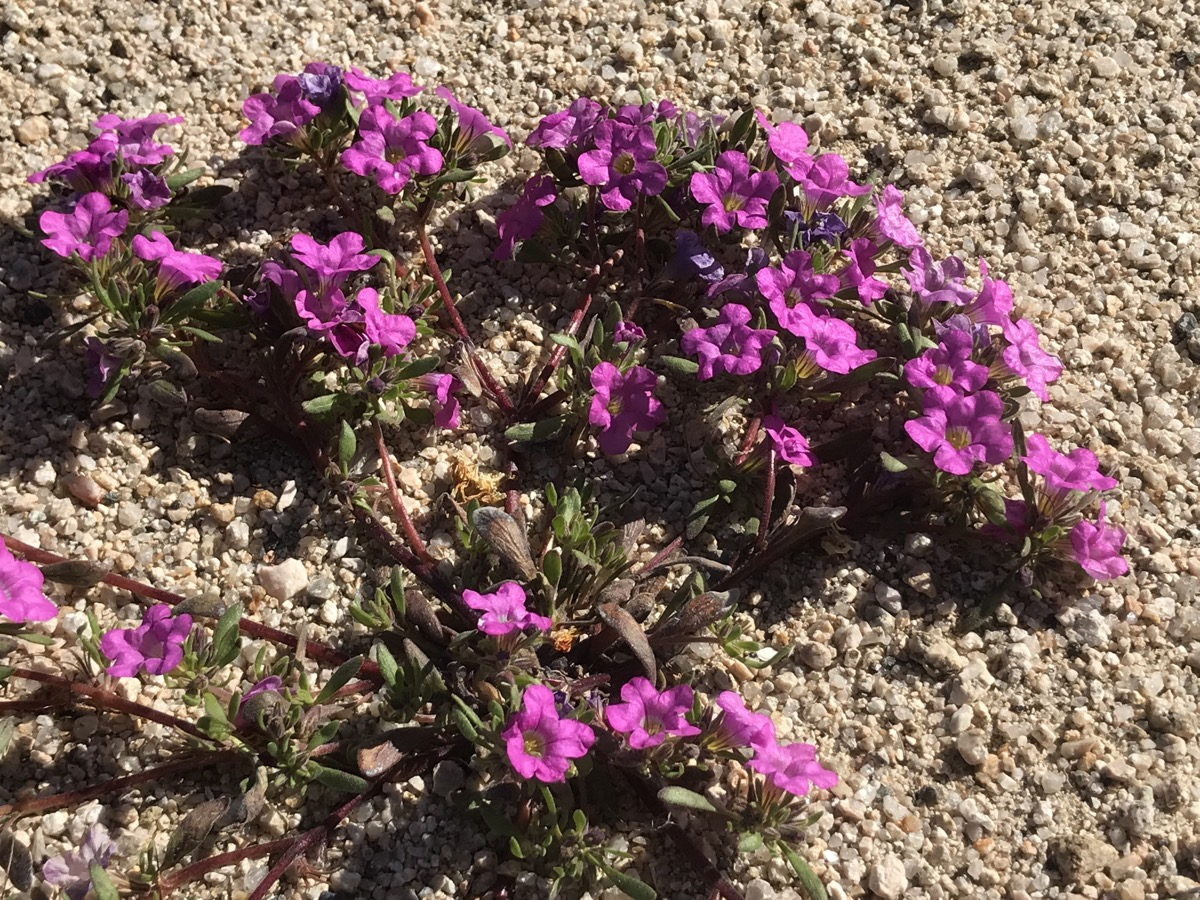 close up shot of vibrant purple flattish flowers growing very near the dirt ground