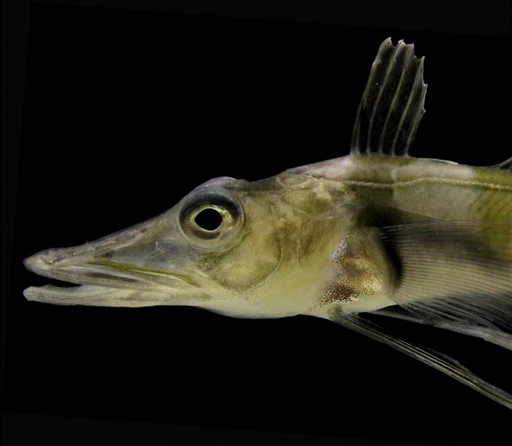 the head of a small fish with a particularly larger snout that is a lightish green color