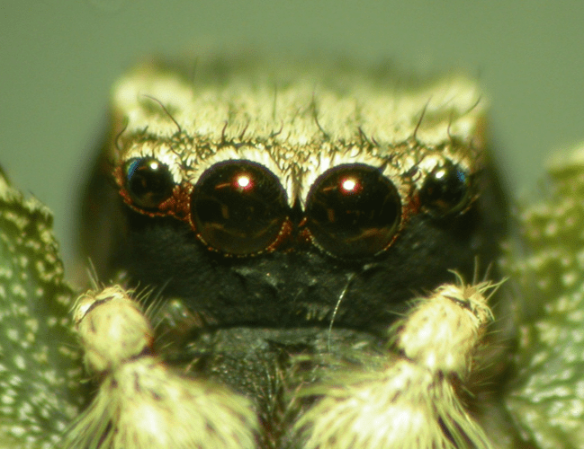 a close up of a jumping spider's eyes, with its normally bright red face painted black
