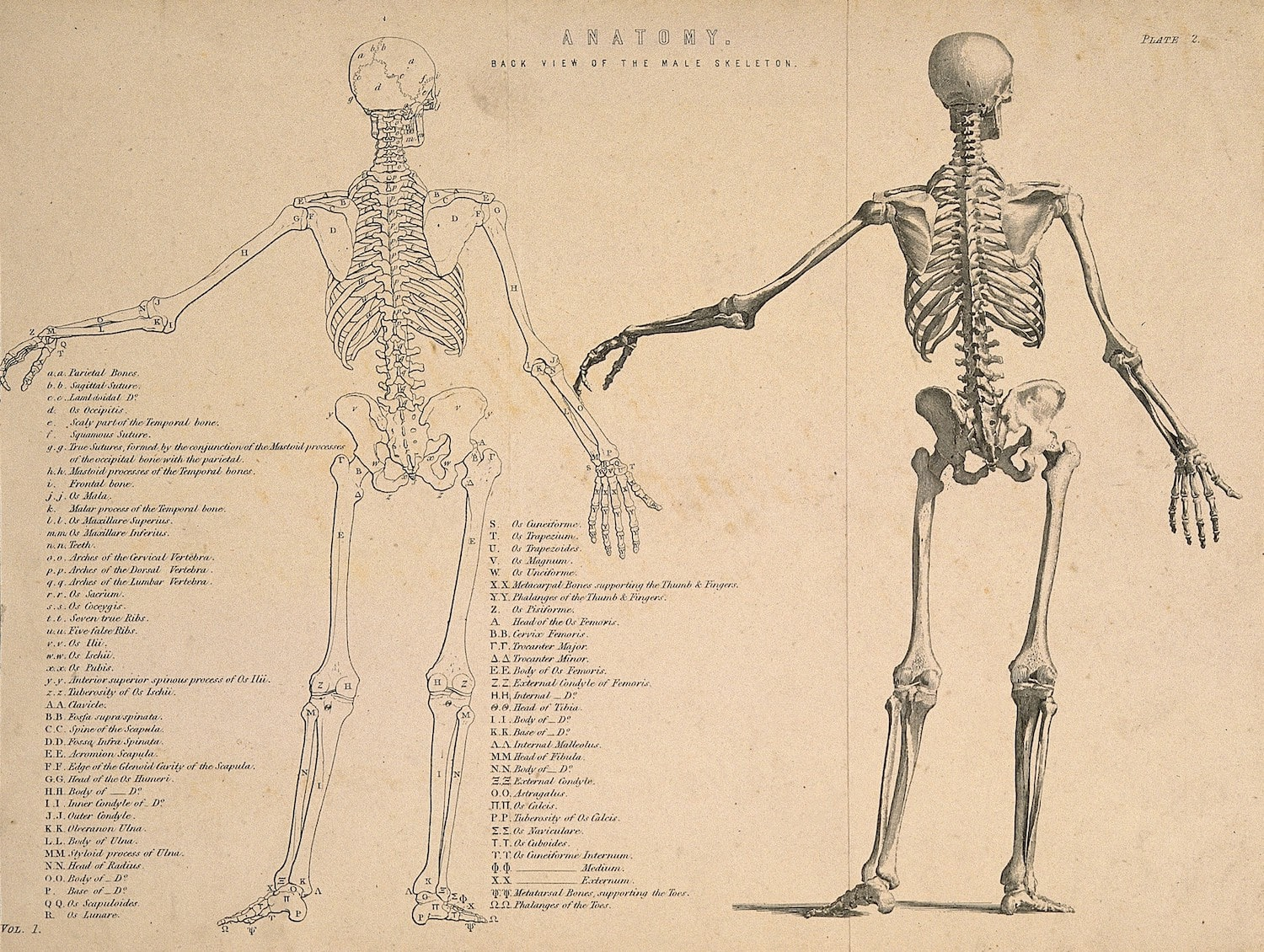 Line engraving of skeleton seen from behind, with left arm extended