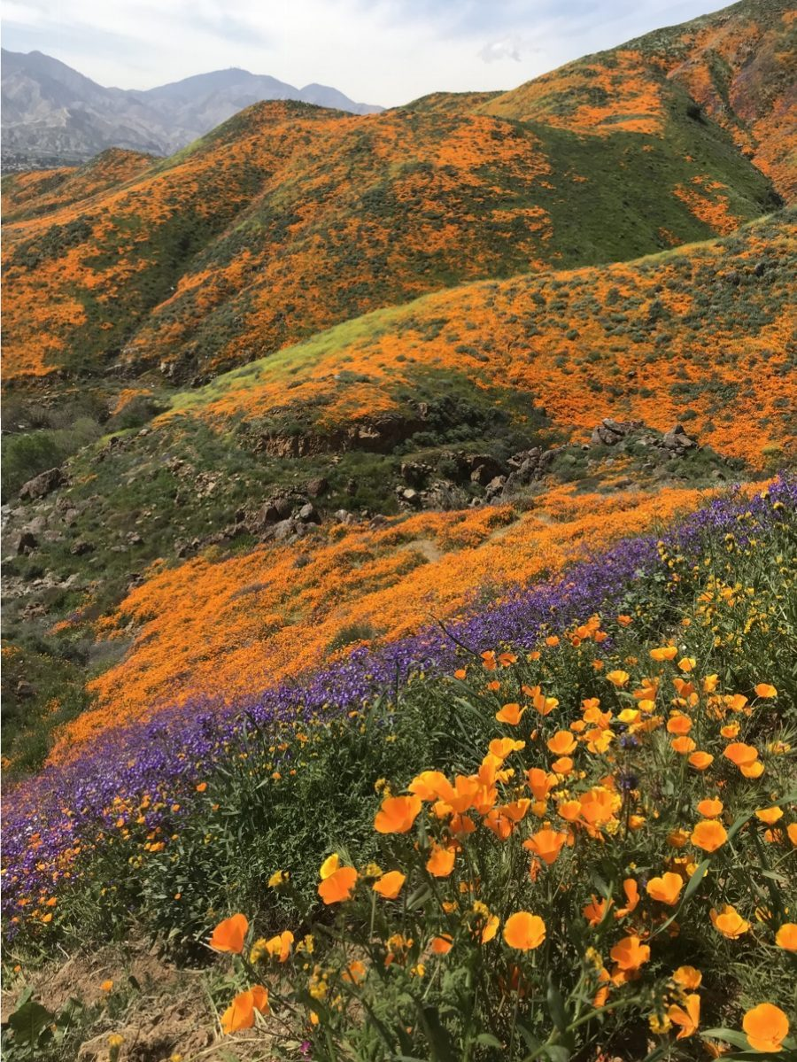 stripes of yellow orange and purple flowers across rolling hills against blue sky