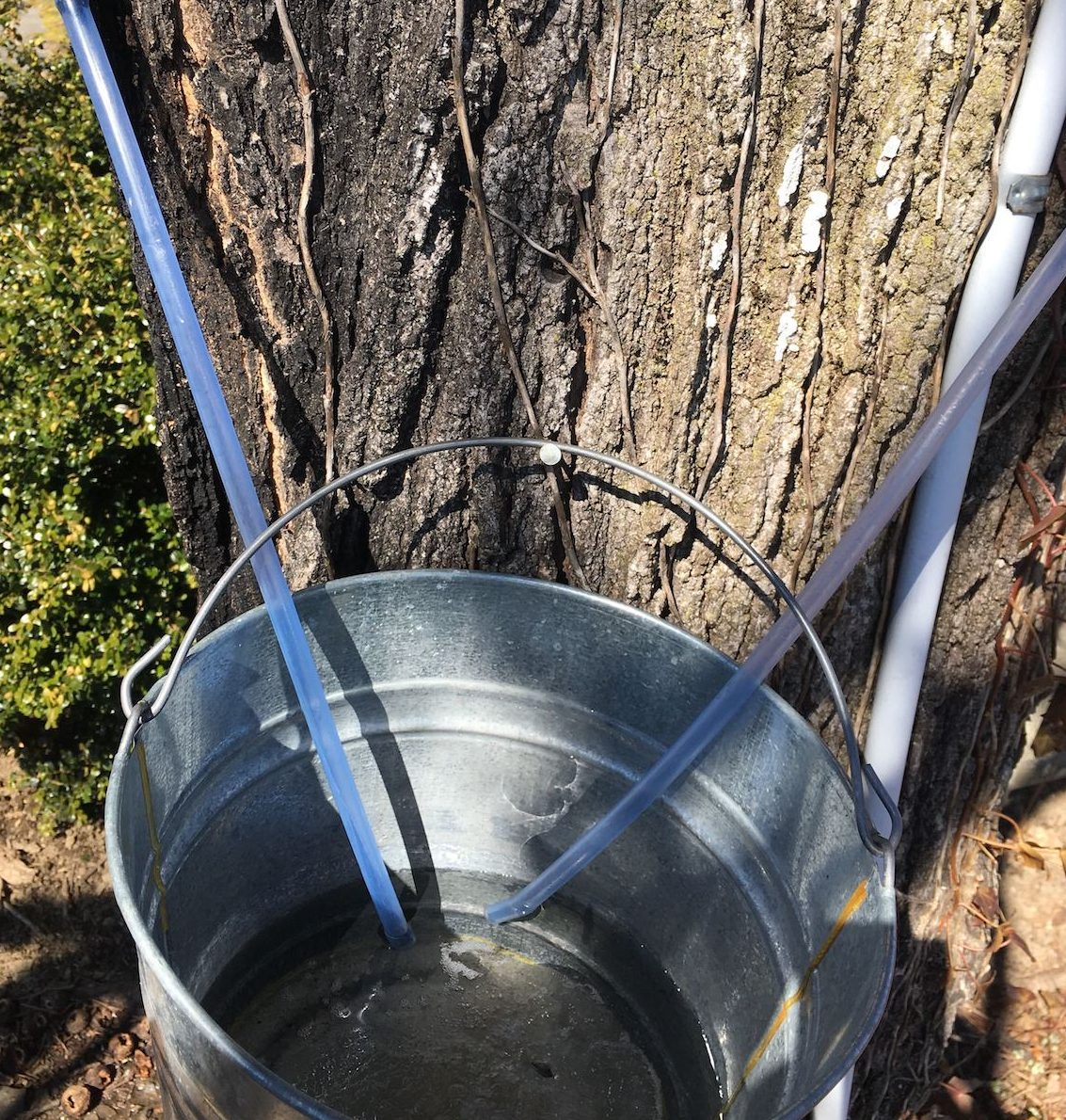 a bucket of what looks to clear water (it's the sap) attached to a tree. two tubes collecting the sap hang from the tree