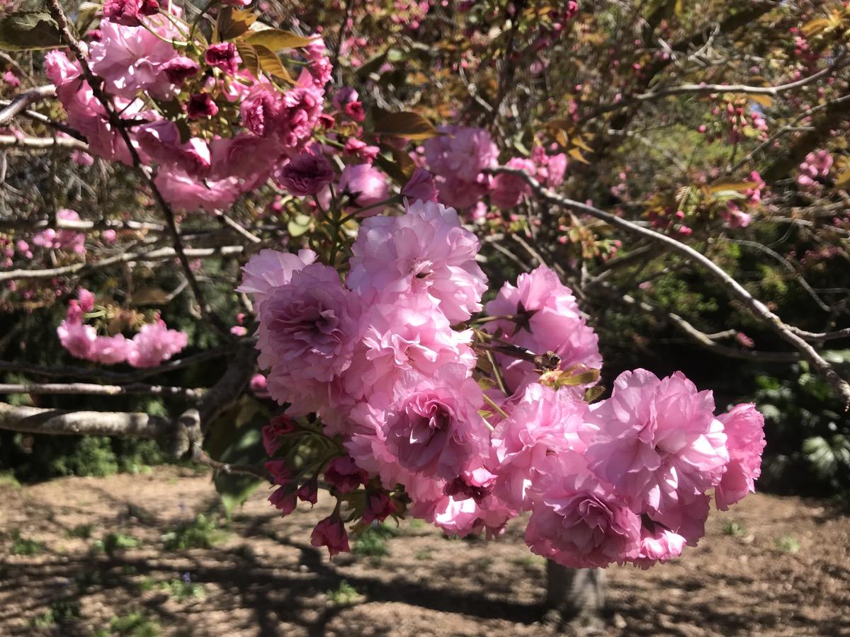 darker pink, purple-y blossoms on a branch