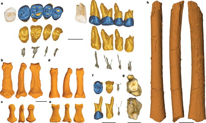 femur bones, teeth, and various other small fossils colored orange and blue sitting next to each other on a white background