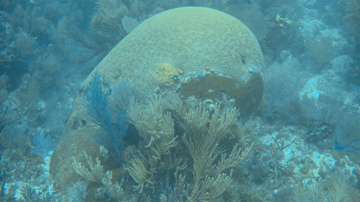 A healthy, yellow coral, taken underwater. It looks like a brain and is surrounded by other, antler-like coral