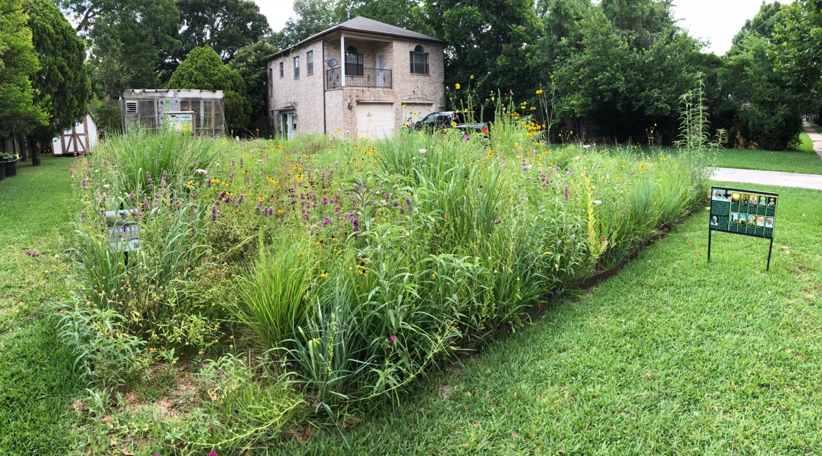 a square of native grasses, growing wildly, surrounded by a short mowed lawn in houston, texas