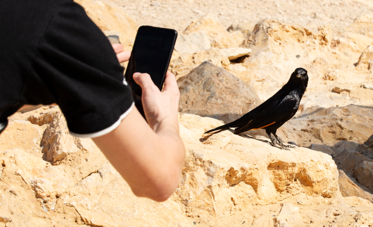 a human arm holding a smartphone is taking a picture of a black bird in a desert, dry environment