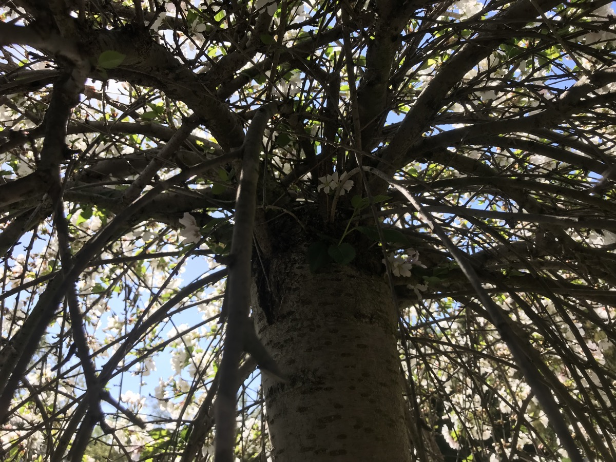 view of the tree from below looking straight up into the drooping branches