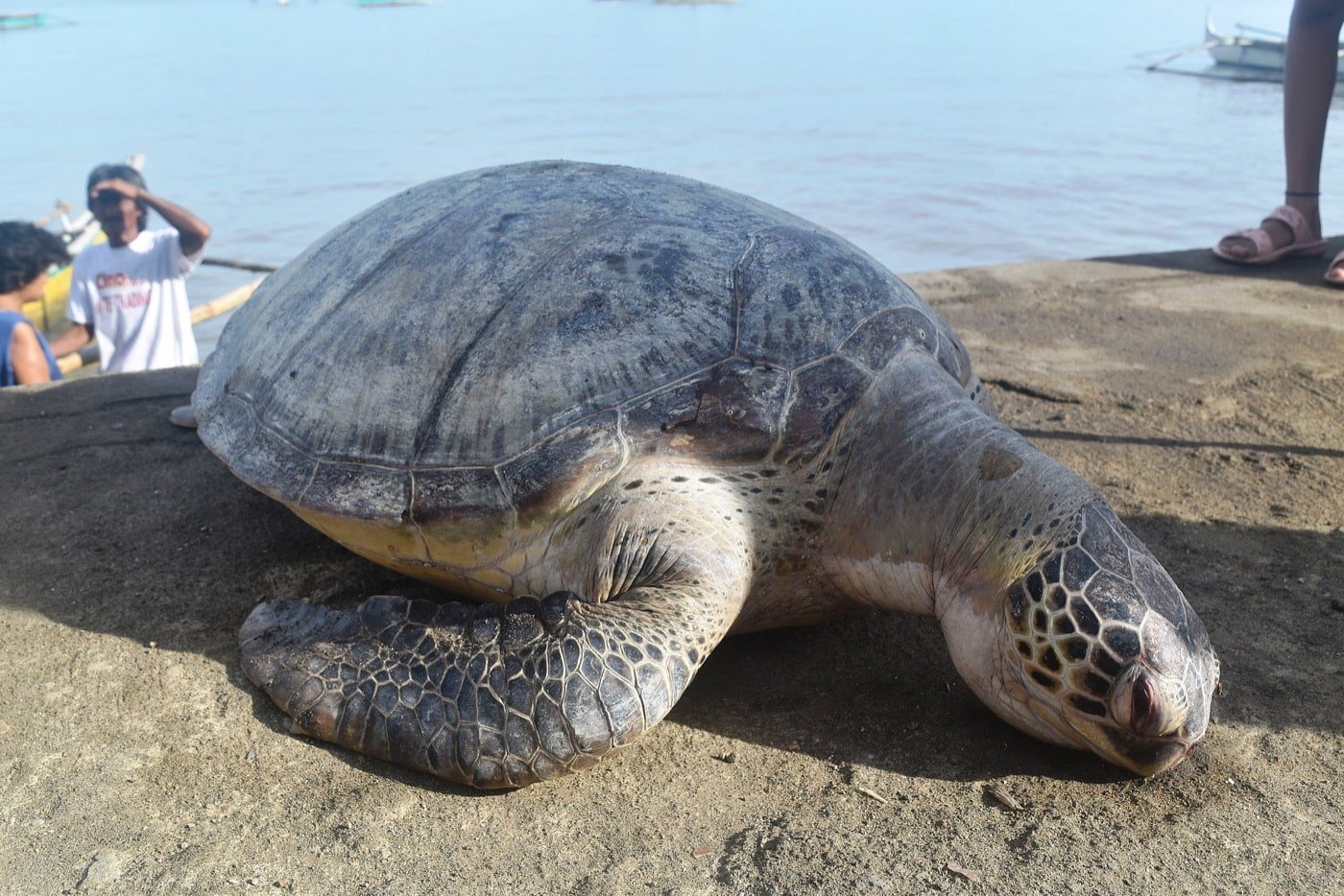 a sea turtle with ashy texture lying dead on a beach with people in the background