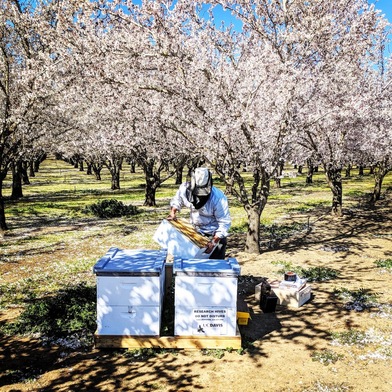 someone checking in on a 3 foot tall box of bees in an orchard
