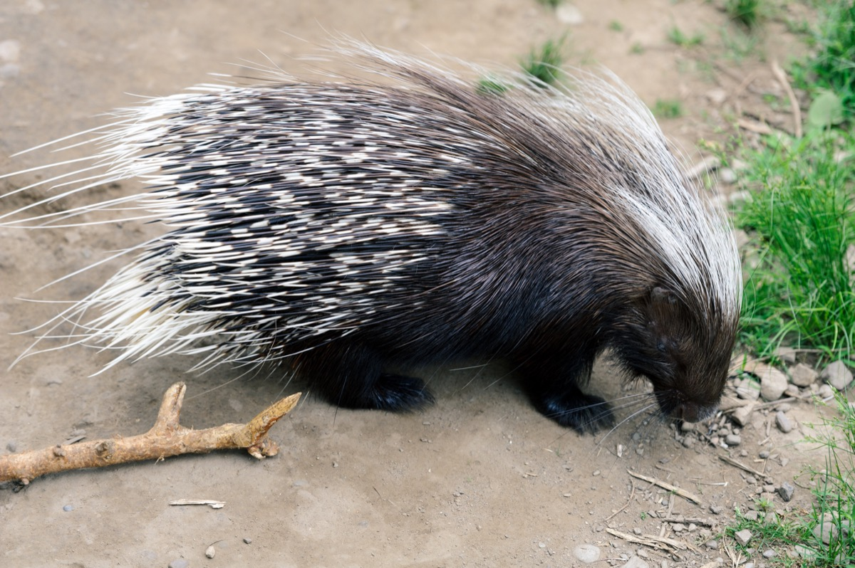 a brown porcupine with white quills forages in the dirt