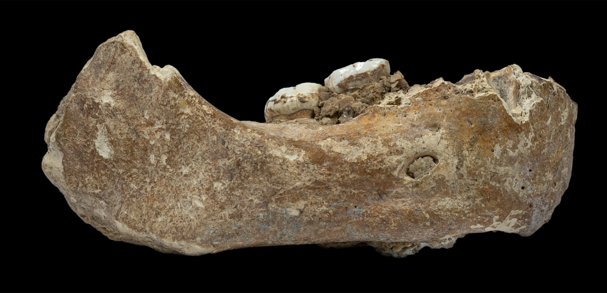 A brownish jawbone with two teeth from the ancient human relative denisovan on a black background