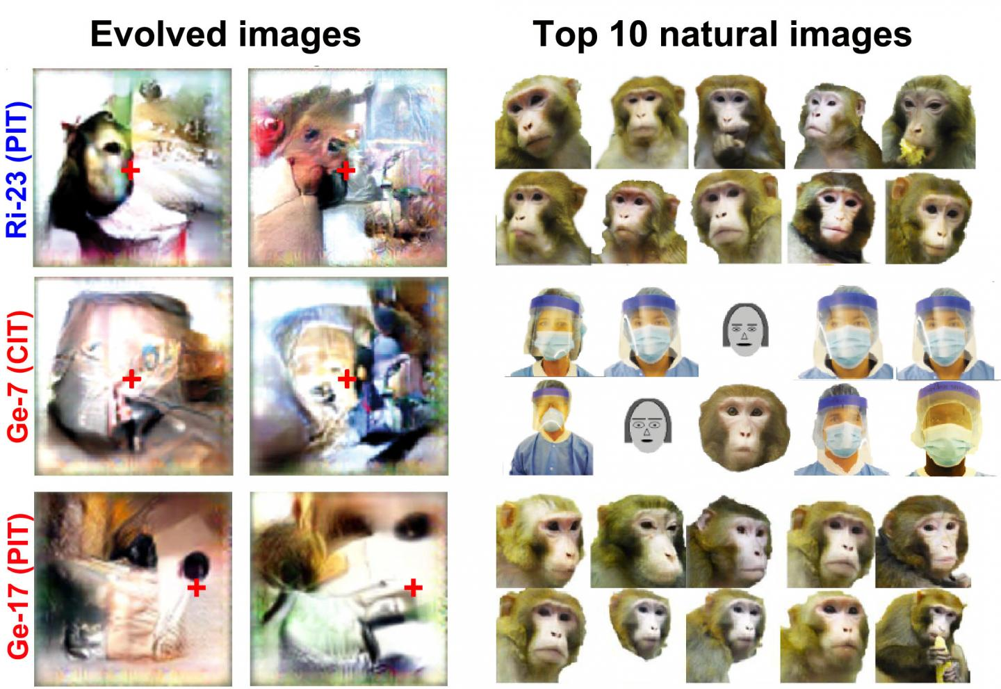 on the left are a series of six images that are the evolved images. they are creepy collages of mismatched faces in color. on the right is 10 natural images also in color but show more complete faces