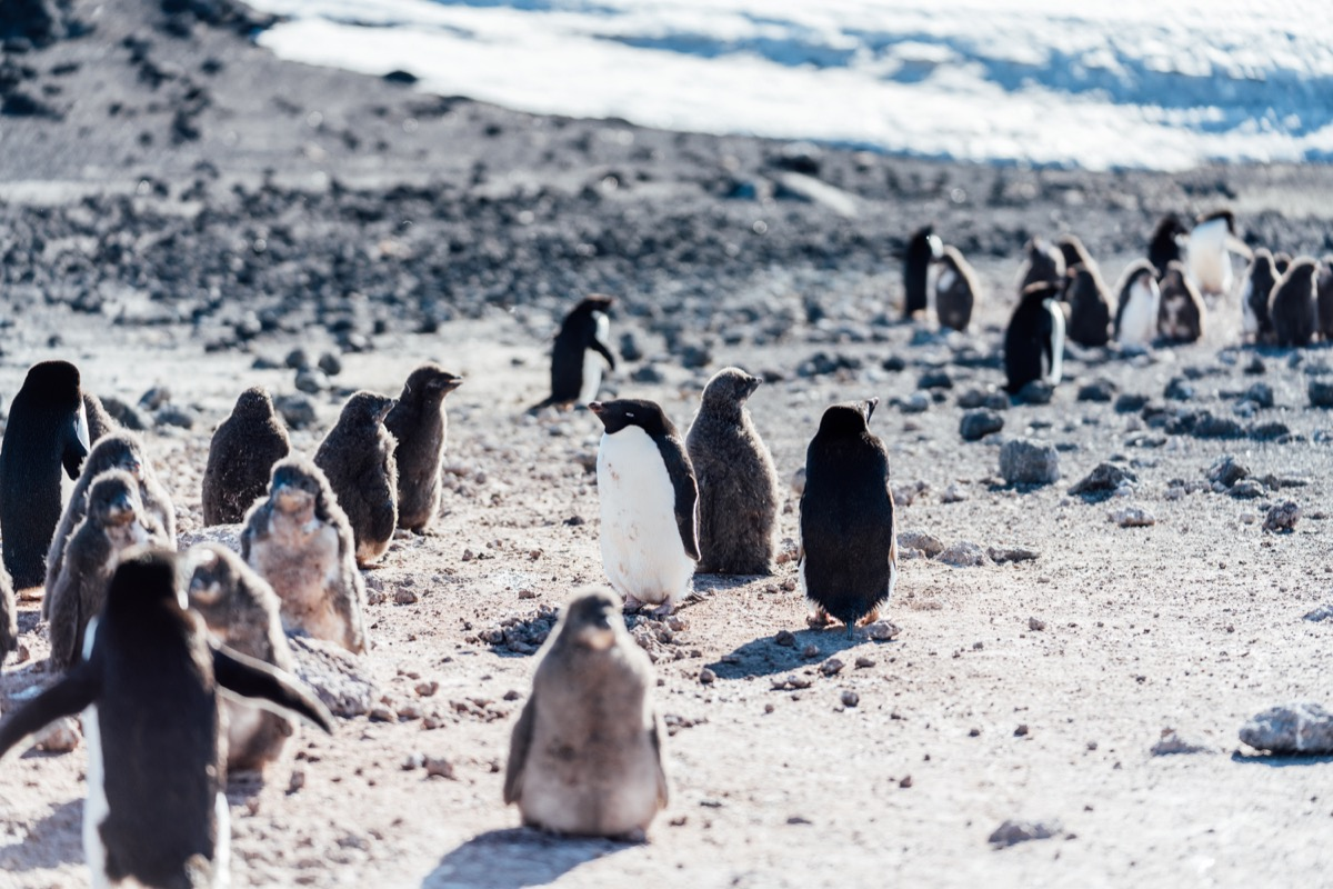 a bunch of short fluffy penguins on a bright day in antarctica