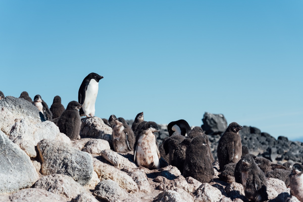 a group of penguins on a rocky incline. one stands up higher on the rock showing off its great profile