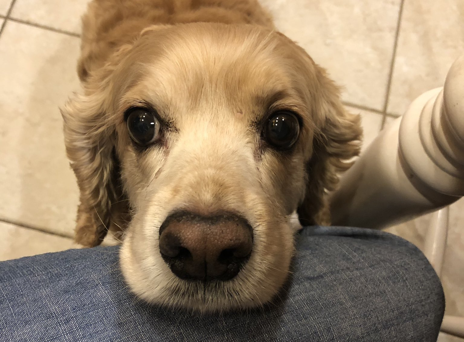a dog rests its head on someone's knee, looking into the camera with its deep, begging, and impossible-to-ignore eyes