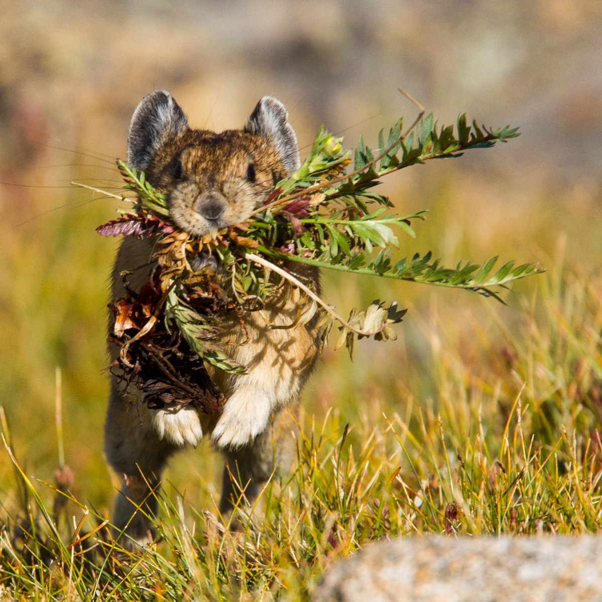 straight-on shot of a pika mid-leap running through golden grass with a mouthful of flowers and hay